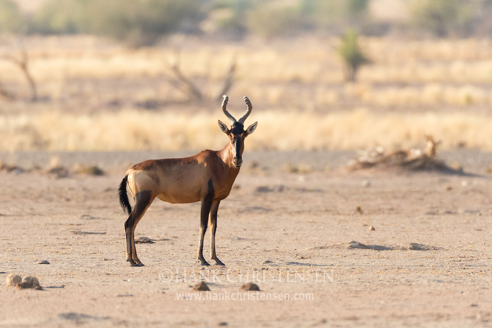 A lone red hartebeest searches for water in the desert landscape of Damaraland, Twyfelfontein, Namibia.
