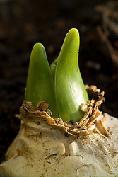 Emerging shoot of Hyacinth 'White Pearl'