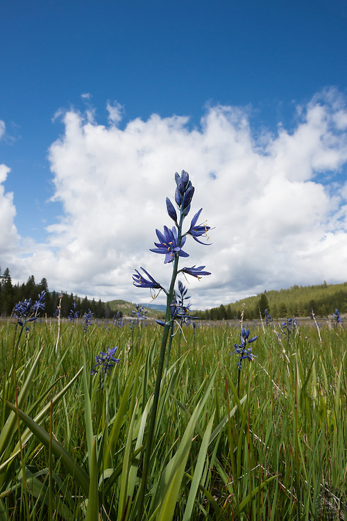 """Camas Lily at Sagehen Meadows"" - This camas lily was photographed at Sagehen Meadows, near Truckee, California."