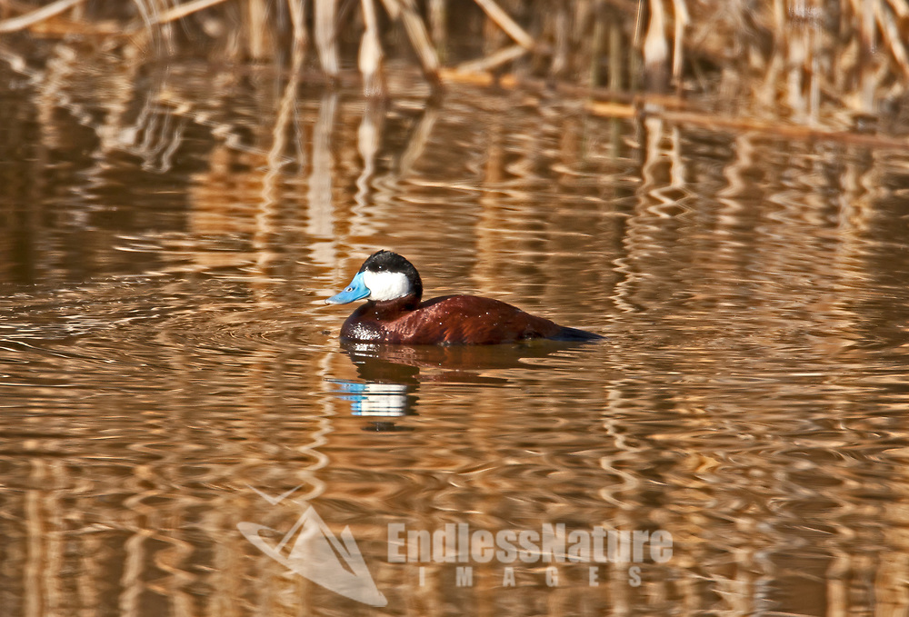 A male Ruddy Duck swims in the early morning golden glow of a marsh pond.