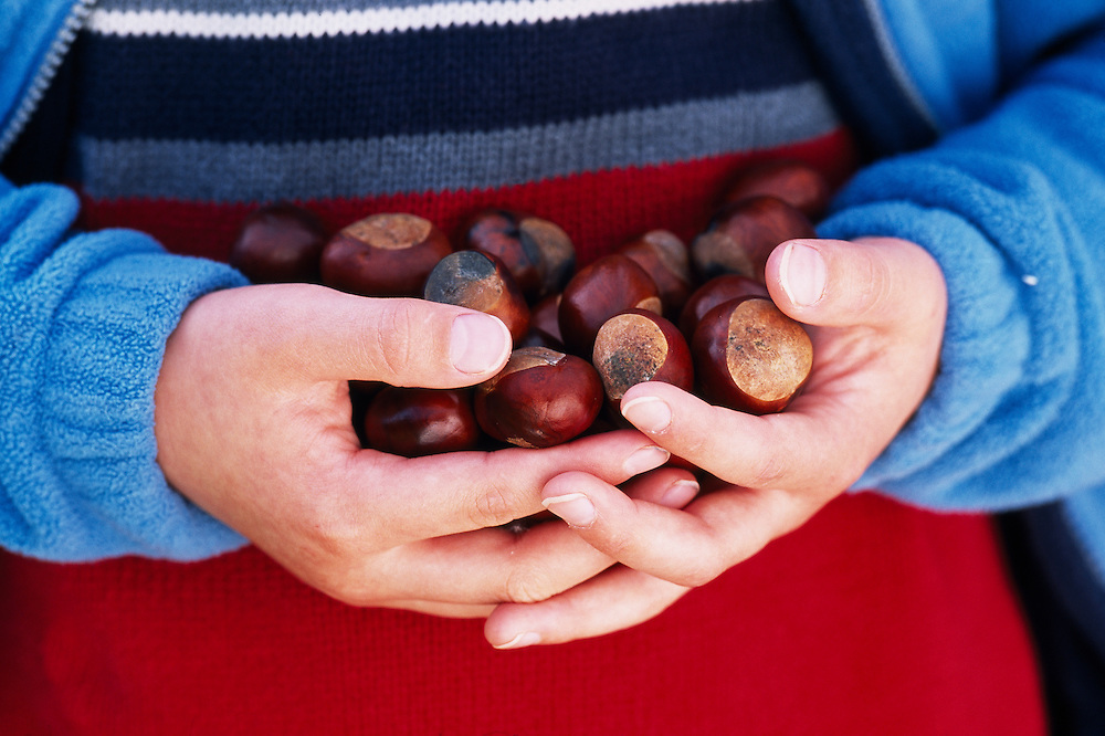 Boy with hands full of conkers.....A98/11/041.JPG NIALL BENVIE BOY WITH HANDS FULL OF CONKERS HUMAN CHESTNUT HOMO AESCULUS SAPIENS HIPPOCASTANUM EUROPE SCOTLAND ANGUS BRECHIN PEOPLE PERSON FRUIT HORIZONTAL HARVEST GATHER MANY PLENTIFUL PLENTY HOLD CRADLE RED BLUE BROWN PINK MALE YOUNG CHILD ONE BROAD LEAVED WOOD LAND FOREST 2004 SEPTEMBER AUTUMN TRADITIONAL GAMES.. .. .. ..