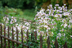 Soapwort. Saponaria officinalis. Night scented and attractive to moths