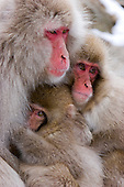 Macaques (Snow Monkeys)