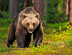 An adult male Eurasian Brown Bear walks in a forest in Finland.
