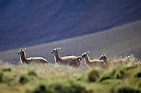 GUANACOS (Lama guanicoe), CHULENGOS, RESERVA NATURAL LAGUNA DEL DIAMANTE, PROVINCIA DE MENDOZA, ARGENTINA