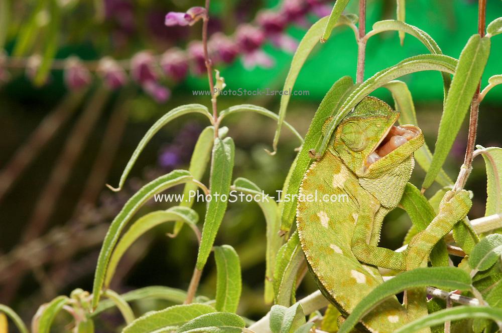 Mediterranean Chameleon, AKA common chamaeleon, Chamaeleo chamaeleon,