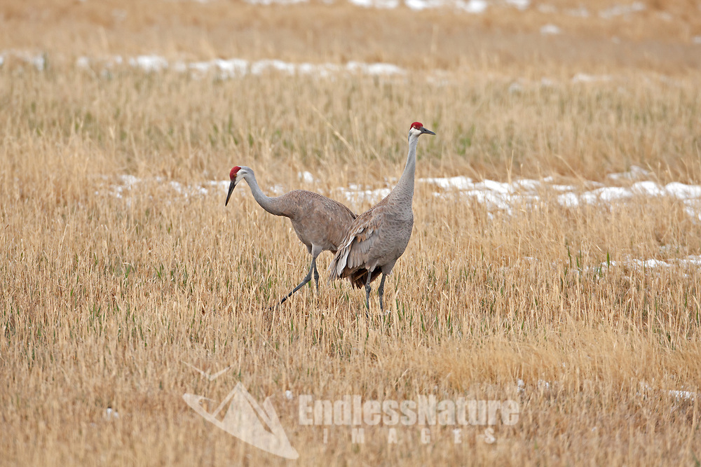A pair of Sandhill Cranes feeds in a springtime field.