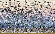 Thousands of snow geese take off from a farm field near Fowler Beach, Milford, Delaware.