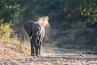 African Elephant bull dust bathing, Kruger National Park, Limpopo, South Africa
