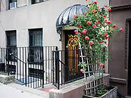 Roses at a townhouse on West 71st street