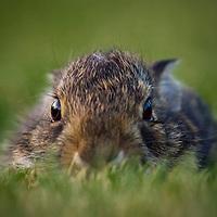 Baby Bunny Hiding in Grass