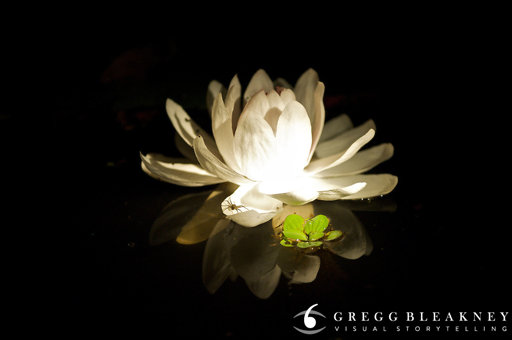 Amazon Water Lily (Victoria Amazonica) blooms only at night - Amazonas - Peru