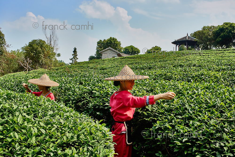 Guangxi, China - September 30, 2014 :woman harvesting tea  between Guilin and Yangshuo in Guangxi province  China