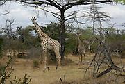Tanzania wildlife safari A giraffes