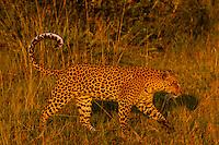 Leoapard walking, Linyanti Marshes, Botswana.
