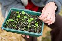 Pricking out seedlings in a seed tray