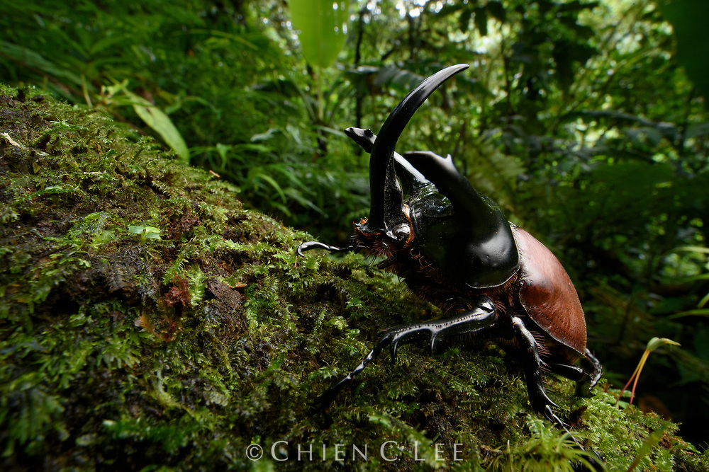 A large male rhinoceros beetle (Eupatorus beccarii). This species is endemic to the forested regions of New Guinea.