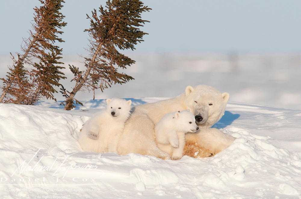 Polar Bear (Ursus maritimus) mother and cubs of the western Hudson Bay population recently out of the den. Manitoba, Canada