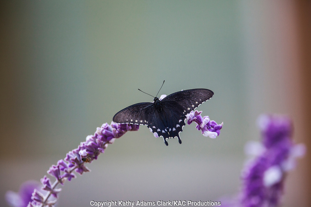 Pipevine Swallowtail; Battus philenor; feeding on Mexican Sage, autumn, Block Creek Natural Area in the Texas Hill Country near Comfort, Texas