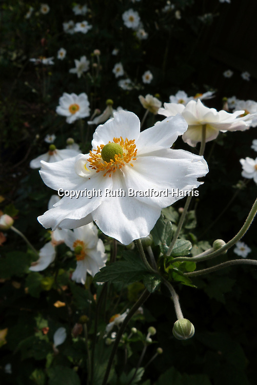 Masses of Japanese anemone, Anemone japonica 'Honorine Jobert' flowers in late Summer. The exquisite, slightly reflexed, single white flowers have a ring of amber-orange stamens and fresh light-green globular centres. The ball-like flower buds, seen in this photograph, are also very attractive and sculptural.<br />