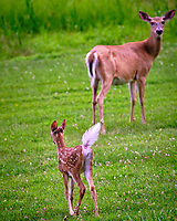 Fawn. returning to mother. Image taken with a Fuji X-T3 camera and 200 mm f/2 OIS lens with 1.4x teleconverter