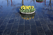 yellow tulips with red tulips bunch reflection Amsterdam, Museumplein, Holland