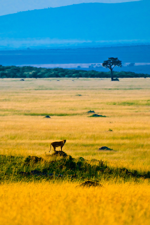 A lioness stands atop a mound with an acacia tree in the background, Masai Mara National Reserve, Kenya