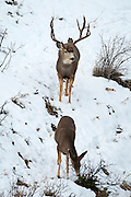Mule deer (Odocoileus hemionus) during autumn rut courting a doe on a snowy day