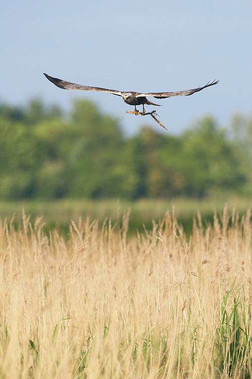 Marsh Harrier (Circus aeriginosus), Texel, the Netherlands