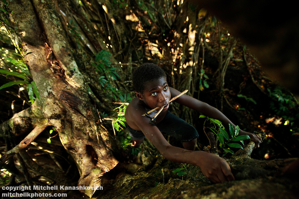 Ni Vanuatu Boy climbing up a banyan tree as he hunts for flying foxes and birds with a sligshot. Rah Lava Island, Torba Province, Vanuatu