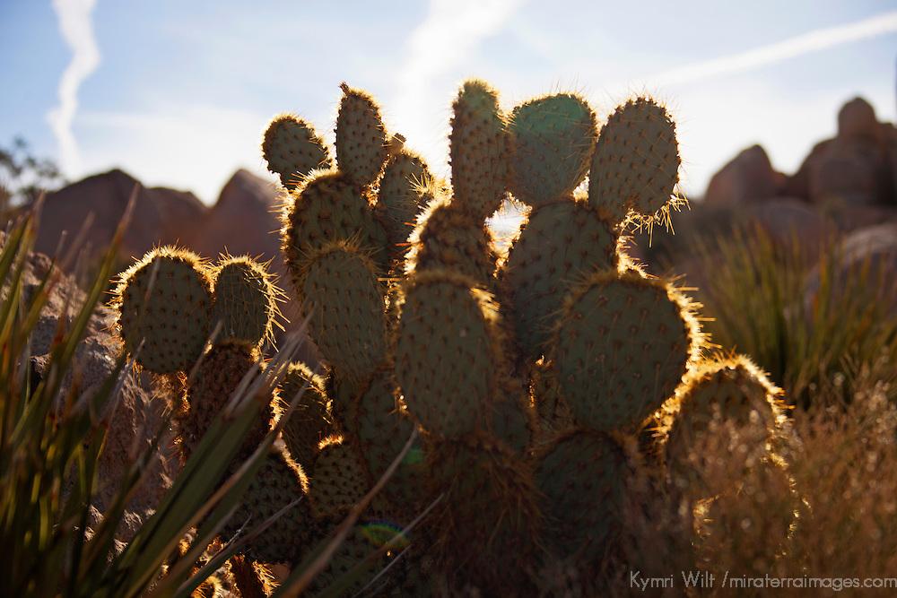 USA, California, Joshua Tree.  Dollarjoint Pricklypear Cactus.