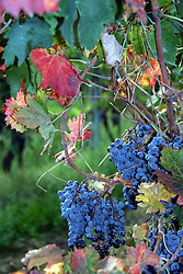 Grapes growing in Chianti, near San Gimignano.
