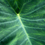 A closeup of the leaf of an Elephant Ear plant of the Genus Colocasia. Leaming's Run Gardens, Cape May Courthouse, New Jersey, USA
