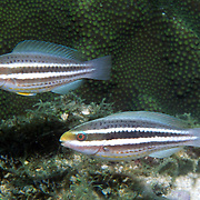 Striped Parrotfish swim about reefs and adjacent areas scrapping filamenmtous algae from hard substrates in Tropical West Atlantic; picture taken Grand Cayman.