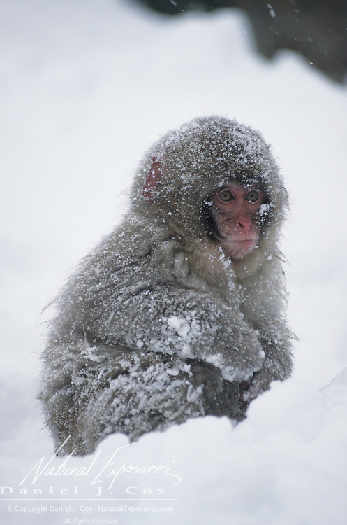 Snow Monkey or Japanese Red-faced Macaque (Macaca fuscata) portrait of a baby in the snow. Japan