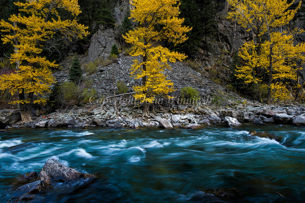 Cottonwoods along the Gallatin River, Montana in the fall.