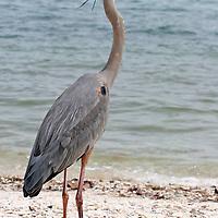 Great Blue Heron in breeding plumage looking right on Sanibel Island, Florida