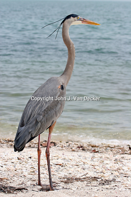 Great Blue Heron in breeding plumage looking right on Sanibel Island, Florida