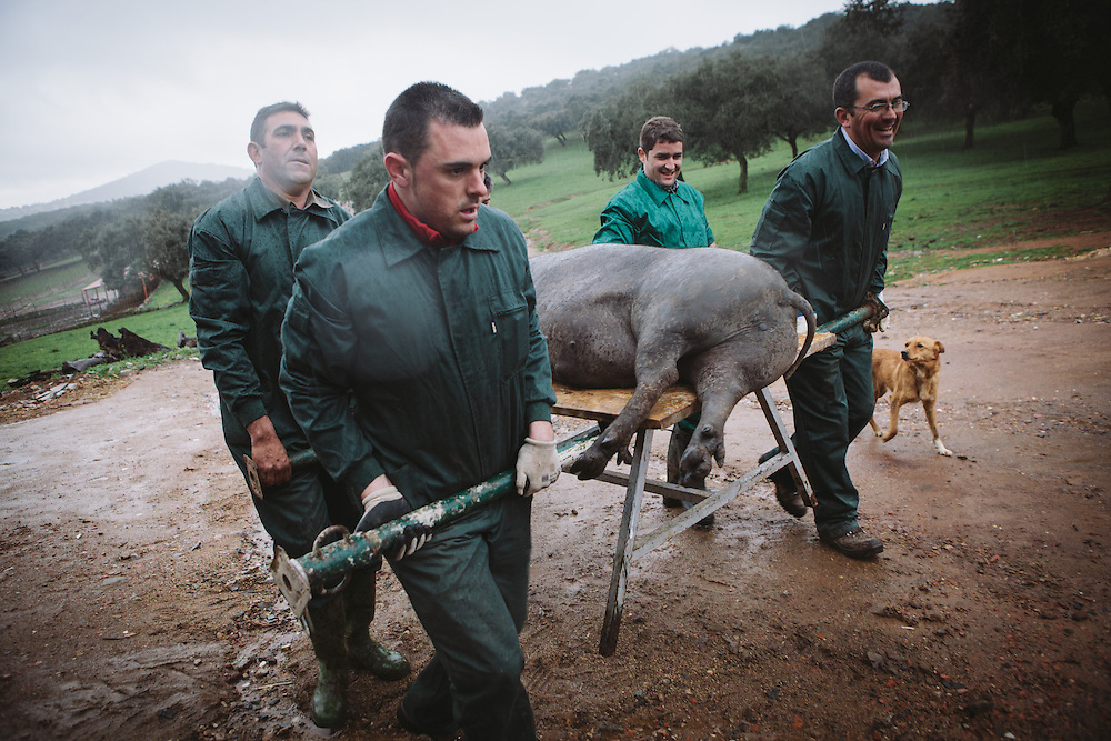 The slaughted Iberico pig is brought inside after slaughter to be butchered. Finca Al Cornocal, Extramadura (Barajoz Province), Spain.