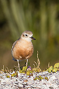 With only a population of 1700, the Northern NZ Dotterel can be found within the Auckland and Northland regions, NZ dotterels nest on beaches including Mangawhai, Waipu, Te Arai Stream, Poutawa Stream, Pakari River mouth, Omaha Spit, Tawharanui, Papakanui Spit, Beehive Island, Waiwera, Gulf Harbour, the Wade River mouth, Tapora, and beaches south of Auckland city and on Waiheke and Great Barrier islands.