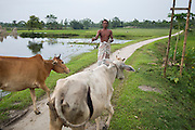 A man living in an enclave called Dhoholakhagrabari take his cows to a field to graze. Until they were officially disbanded less than one month ago, the trees in the distance formed the end of his enclave and where Bangladesh began.<br /> <br /> On July 31st 2015 the enclaves that formed one of the world's most complicated borders were officially absorbed in to the countries that surrounded them in a land-mark land swap between India and Bangladesh. The people that lived in them will finally receive citizenship.<br /> <br /> Enclaves are small pockets of sovereign land completely surrounded by another sovereign nation. Approximately 160 enclaves, known as chitmahals, exist on either side of the India-Bangladesh border. For 68 years the 50,000 plus inhabitants of these enclaves have lived a difficult existence, stranded from their home nation and ignored by the country that surrounds them. <br /> <br /> In theory even leaving their enclaves is illegally crossing an international border and for decades it has been very difficult for them to receive even the most basic of rights whether education or health. Even the police have no jurisdiction in the enclaves leaving them essentially lawless.