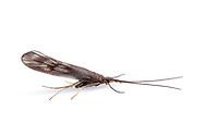 Hood Casemaker Caddisfly (Molanna sp.)<br /> WISCONSIN: Oneida Co.<br /> 8535 Bo-di lac Rd, Minoqua <br />  45.876839, -89.901170 <br /> 11-June-2014<br /> J.C. Abbott #2666 &amp; K.K. Abbott