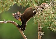 Pine Marten (Martes martes) climbing Scot's pine tree, Scotland