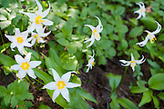 Avalanche Lily (Erythronium montanum), Bald Mountain Ridge below McNeil Point.  This ridge is accessed from the Top Spur trailhead on the west flank of Mount Hood.
