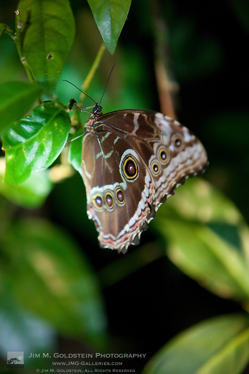 Ventral wing pattern of the Blue Morpho Butterfly (Morpho peleides) resting at night