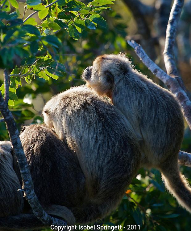 Black Howler Monkey. (Alouatta caraya), Courtenay, British Columbia, Canada, Isobel Springett