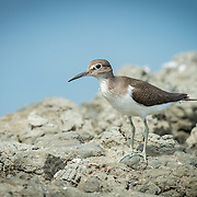 The green sandpiper (Tringa ochropus) is a small wader (shorebird) of the Old World.