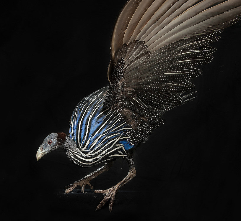 Vulturine Guineafowl, (Acryllium vulturinum), captive, credit: Pandemonium Aviaries/M.D.Kern