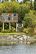 A lone grizzly bear feeds near an observation platform in the lower Brooks River lagoon at Katmai National Park and Preserve September 15, 2019 near King Salmon, Alaska. The new observation platforms and bridges were installed during the winter of 2019 at a cost of more than $6 million dollars in the remote park know for one of the largest concentrations of bears in the world.