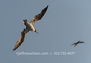 Brown boobies in flight against a blue sky off the coast of Bona Island in the Gulf of Panama.